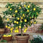 Conservatories and Orangeries - Lemon tree