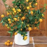 Conservatories and Orangeries - Orange tree